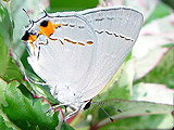 (Strymon melinus) Grey Hairstreak