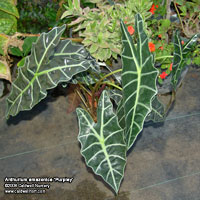 Alocasia amazonica 'Purpley'