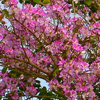 Bauhinia purpurea - Purple Orchid Tree