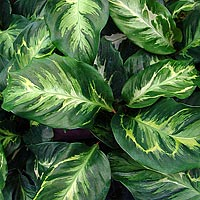 Calathea-'Electric-Shock'
