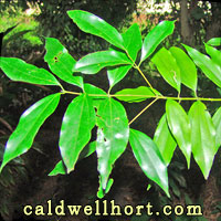 Cinnamomum cassia leaves