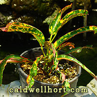 Croton 'Dreadlocks'