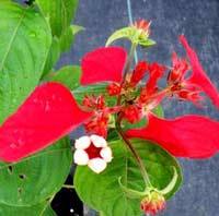 red mussaenda