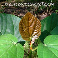 Ficus-roxburghii-new-leaf