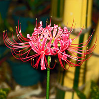 Hurricane Lily - Lycoris radiata