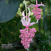 Medinilla magnifica in flower