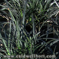Ophiopogon-planiscapus-'nigrescens'-Black-Monkey-Grass