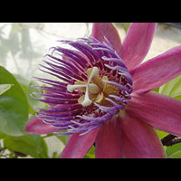 Passiflora citrina flower