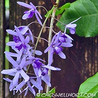 Petrea Vine in flower