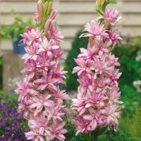 Polianthes tuberosa 'Double Pink Sapphire'