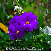 Thunbergia erecta flowers