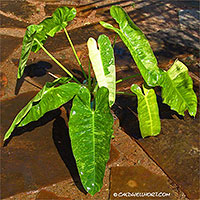 Philodendron Imbe Variegata