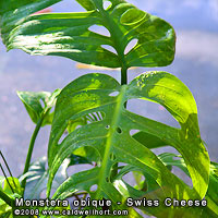 Monstera obique (AKA Monstera adansonii) The Swiss Cheese Plant